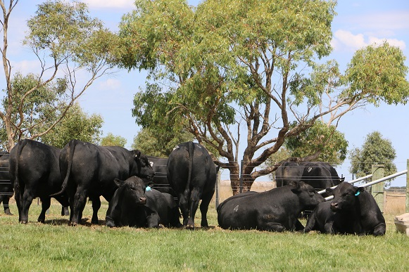 Te Mania Angus welcome producers to preview the Autumn Sale Bulls at a leisurely pace during Beef Week on Friday February 2nd